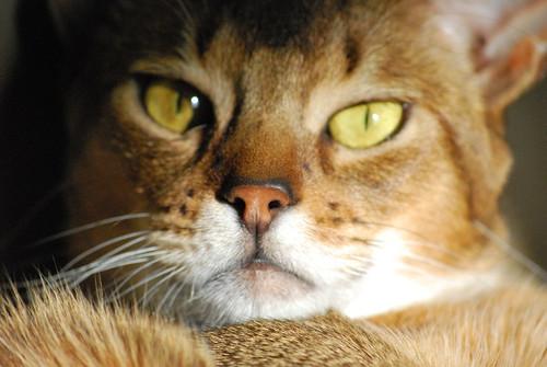 Jaguarundi Curl. Abyssinian Cat Breed