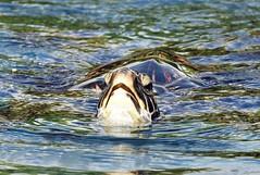 Honu (Kai Eiselein) Tags: ocean water animal swim hawaii pacific turtle sony maui tropical honu alpha greenseaturtle a700 photocontesttnc09