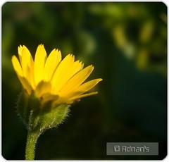Yellow (A D N A N - Light & Shades) Tags: pakistan flower macro green yellow dof adnan ppa canong9 poznflik