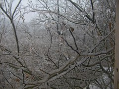 Mimosa Tree (junebug_1944) Tags: icestorm eurekaspringsar january2009