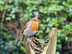 Robin contemplative (sam2cents) Tags: ireland cute nature birds garden wildlife wicklow redbreast animalkingdomelite anawesomeshot aviforms robinerithacusrubeculamelophilus
