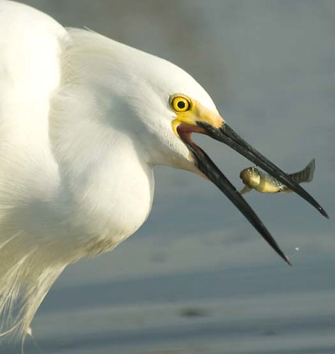 Egrets Fishing