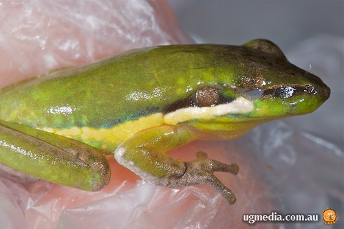 Litoria olongburensis - after