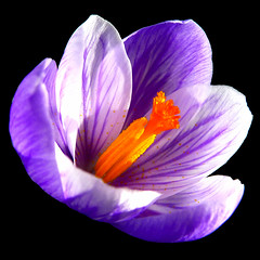 simply perfect (gorgeoux) Tags: park uk orange flower london sunshine yellow petals purple violet sunny crocus polen mauve squared regents saffron