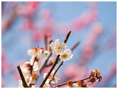 Japanese Apricot 090310 #03