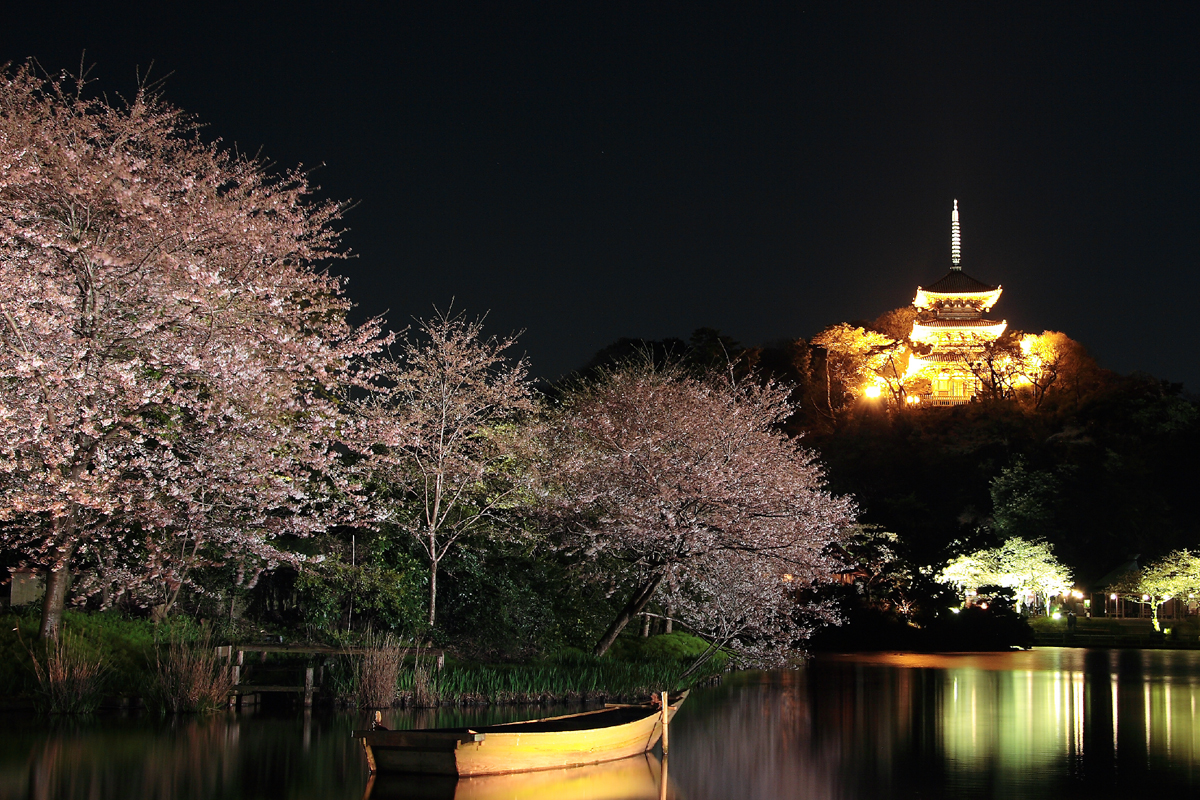 The cherry blossoms in Sankeien