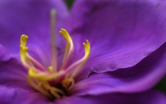 when I reached out for you (Seven_Seas_Photography) Tags: flower macro nature purple violet lilac amethyst