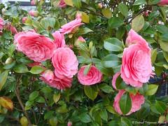 Camelia / Camellia