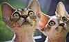Curious Cats (kotobuki711) Tags: cats pets cute grass animals silver fur eyes feline dof sweet bokeh sister brother tabby ears kittens siblings whiskers curious aspen devonshire devonrex kiku