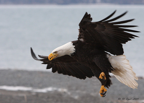Eagle in Flight (3)