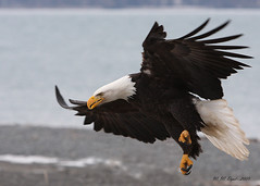 Eagle in Flight (3) (Bill D114) Tags: blueribbonwinner specanimal platinumphoto theunforgettablepictures goldendiamondblog