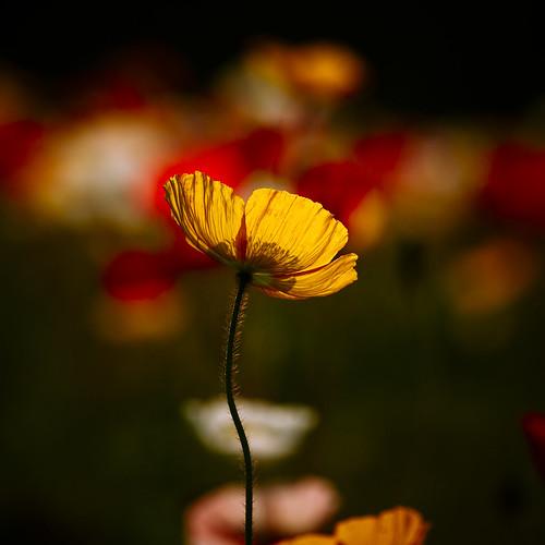 13668 : karuNaa -Poppy2009 #4-