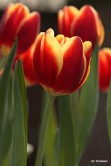 Tulips (dewollewei) Tags: tulip bulbs keukenhof mmmilikeit