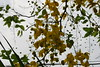 DSC_0997 (prasanthabythomas) Tags: flower kerala kanikonna