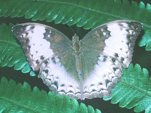 Cymothoe theobene f.jpg by kibuyu.