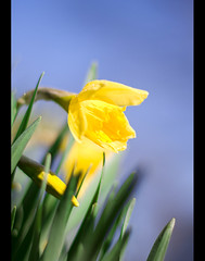 Daffy about Spring (Pat Kilkenny) Tags: green yellow canon 50mm spring 14 daffodil daffy daff canon40d patkilkenny