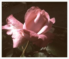 pink roses flower rose iphone (Photo: vajra on Flickr)