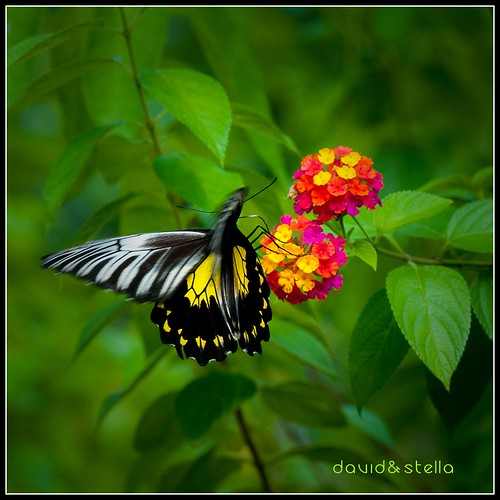 Golden Birdwing I {troides amphrysus}