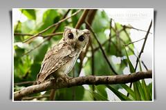 นกเค้ากู่, นกฮูก/Collared Scops Owl (Juvinile)