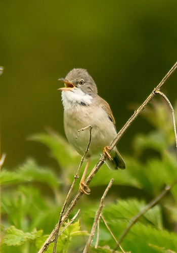 Whitethroat3