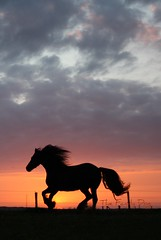 IMG_0048 (The Family Dog) Tags: sunset horses horse silhouette caballo cheval fries ameland pferde pferd friesland equine chevaux paard paarden equines friese friesche pferden friesische
