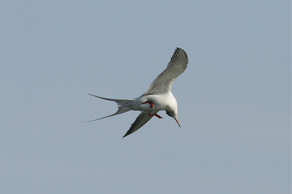 Froster's Tern making a turn picture with Pentax K20D and Pentax F* 300mm f/4.5