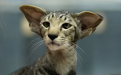 I'm All Ears (peter_hasselbom) Tags: cats face cat orientalshorthair head ears catshow 105mm notmycat cc100 cc1000