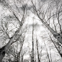 "Photographic Paradox (jasontheaker) Tags: longexposure trees clouds forest movement order silverbirch kayos ""jasontheaker"""