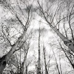 Photographic Paradox (jasontheaker) Tags: longexposure trees clouds forest movement order silverbirch kayos jasontheaker