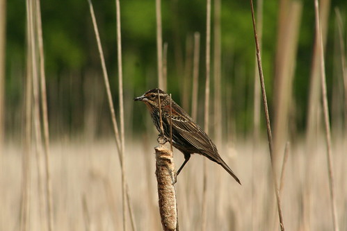 Serene Stillbird, Adult Female Red-Winged Blackbird, Lincoln Marsh, Wheaton, IL > May 23, 2009