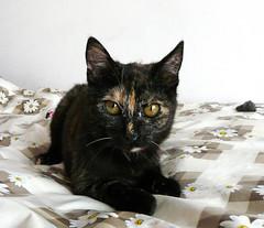 Balbinka (czaroffnica) Tags: cat kitten tortie gatto kot gattino catlady kotka kociak szylkret szylkretka
