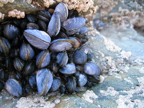 Tiny mussels