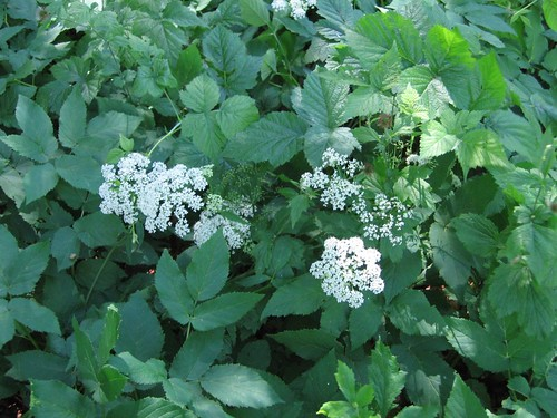Giersch / Ground Elder