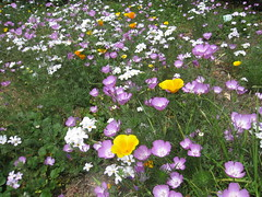 New Wildflower Meadow - Linanthus, Showy Clarkia and good ol' California Poppy