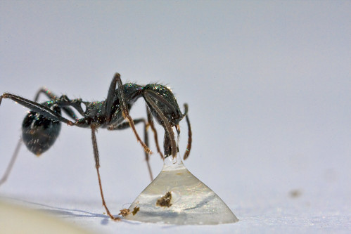 Is Borax an Ant Killer?