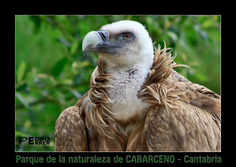 Cabárceno - buitre leonado