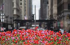 Tulips on Madison (mckenziemedia) Tags: park street flowers red chicago blur canon buildings eos dof tulips bokeh millenium madison 5d 28 pentacon f28 oof sonnar 180mm