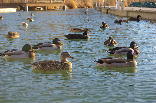 Ducks, at the boatdock of the Boathouse in Forest Park, Saint Louis, Missouri, USA - mainly Mallard specie
