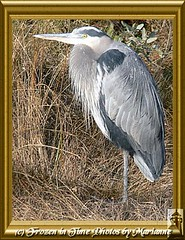 FBI: P2200517+1 - PROFILE OF GREAT BLUE HERON (Frozen in Time photos by Marianne AWAY OFF/ON) Tags: bird nature birds virginia wildlife greatblueheron fbi naturesbest nationalwildliferefuge ardeaherodias naturesfinest chincoteagueisland blueribbonwinner greatblueherons framedphotos nationalgeographicwannabes mywinnerstrophy anawesomeshot blueribbonphotography favoritesbyinterestingness birdfanaticsnolimits checkoutmynewpics natureunlimitedpublicgroupforever photowatermarkframes nationalgeographiswannabes