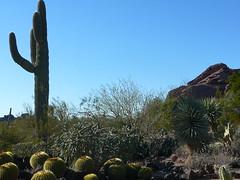 Saguaro and Papago (alist) Tags: phoenix garden botanical desert alicerobison