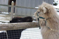 Fergie (bactrian camel) visiting with a Miniature Horse (Voice0Reason) Tags: horses zoo camels bactrian forestpark equines camelids