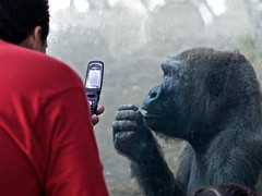 So tell me more about your cell phone's data plan... (Seldom Scene Photography) Tags: red animal shirt geotagged zoo gorilla cellphone tourist olympuse520 5002000mmf2835