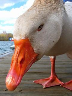 Evil Eyed Goose