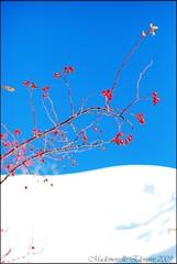 Dettagli... - Details (Elenoire [coolpix mode on...]) Tags: sky snow foto berries shot picture inspired photograph cielo neve dettagli fotografia bacche rosso montagna bianco pianta elenoire colourartaward mademoiselleelenoire eleonoraferrarese