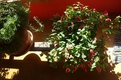 Rabo de gato no vaso (Santinha - Casas Possveis) Tags: plantas jardim quintal reciclagem vasos margaridas temperos paisagismo cip varandas cestos rabodegato reutilizao bacia dicas cacheps truques minijardim casaspossveis pequenosarranjos floresnobalde floresnachaleira pequenosespaos pequenasvarandas cantinhoverde cantinhoflorido vasosparaamesa blogcasaspossveis vasinhosnareadeservio