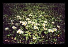 Vistiendo el invierno (Jashir) Tags: flower canon vintage 350d spain gijn flor asturias cerro daisy margarita canoneos350d asturies santacatalina