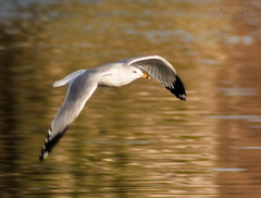 On the wings of each new day hope soars (O!creationsphotography) Tags: morning bird digital photography hope morninglight al huntsville gull alabama flight photograph digitalphoto digitalphotography newday uah huntsvilleal napg universityofalabamahuntsville ocreationsphotography