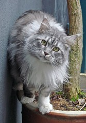 Balance II (Jorbasa) Tags: pet macro smart animal cat germany deutschland bestof hessen maine coon mainecoon maxwell balance katze kater gemany wetterau jorbasa blackclassicsilvertabby