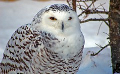 Owl (judo_dad1953) Tags: winter bird nature pentax owl snowyowl ecomuseum aplusphoto