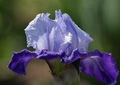 Clark Gardens 040309 134 (Shutter_Hand) Tags: blue iris flower primavera fleur azul spring blauw texas blu flor jardin bleu botanico fleurdelis blau  secretgarden botnico flordelis   mineralwells parquebotanico botanicalpark jardinbotnico weatherfordtx jardinsecreto parquebotnico miguelmendoza clarkgardens naturewatcher  lenscraft sony70300mmf4556gseriestelephotozoomlens sony70300mmf4556gseriestelephotolens texasgem texasjewel